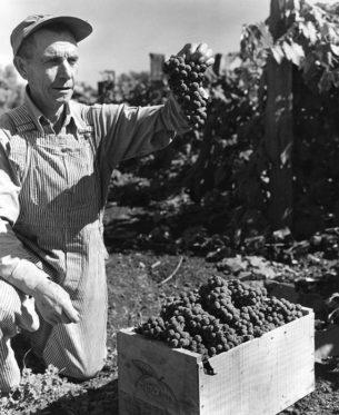 Workers denim, Grape farmer, wearing denim bib and brace, Oregon, USA , 1935